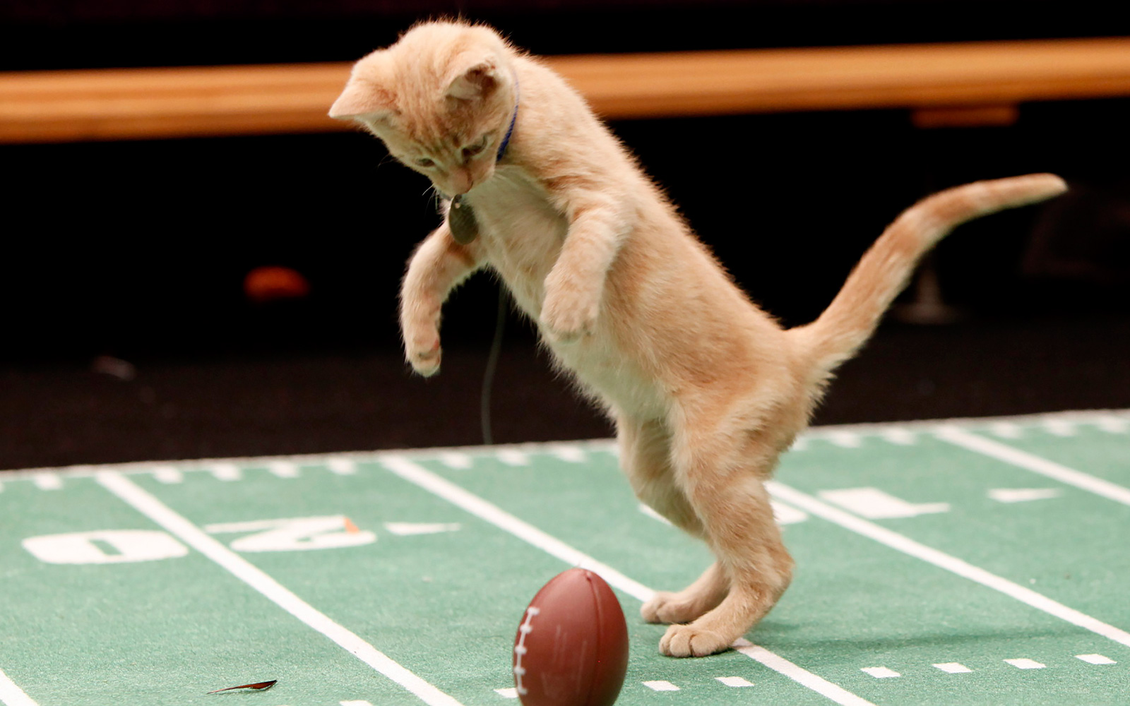 Tune in on SuperBowl Sunday for the Kitten Bowl on Hallmark Channel