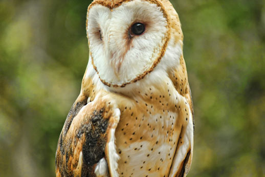 barn-owl-lbl-nature-station
